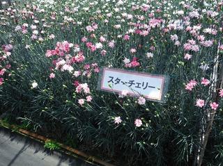 カーネーション園7.jpg