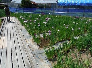 花菖蒲園5.jpg